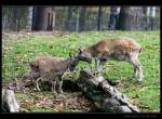 kozy šrouborohé v Zoo Liberec - (c) E. Vejnar